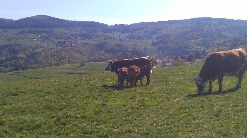 Vaches de la ferme